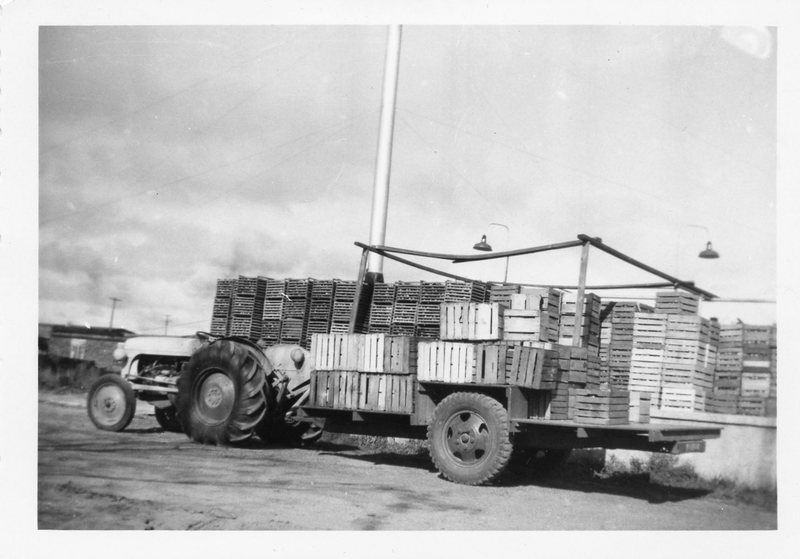 Delivering apples to processor, circa 1950